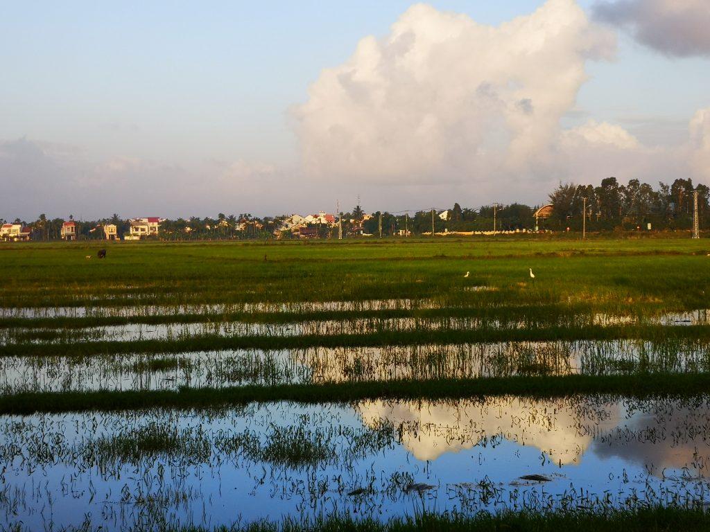 Pola ryżowe w Hoi An