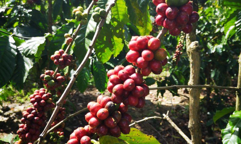 Krzak kawy arabskiej - tree coffee arabica
