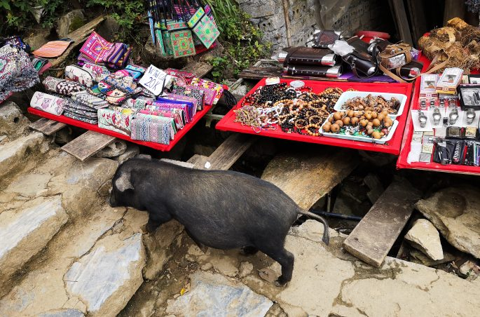Dzika świnia w Wietnamie - Cat Cat Village