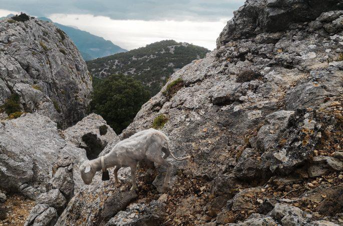 Kozy górskie - Co zobaczyć na Majorce? Tiere auf Mallorca - Serra de Tramuntana