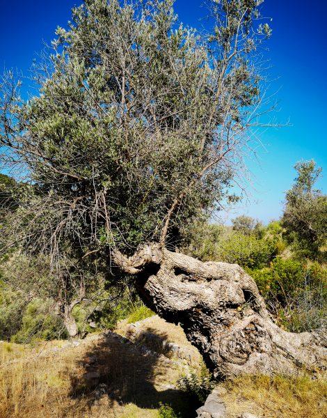 Drzewo oliwne - olive tree