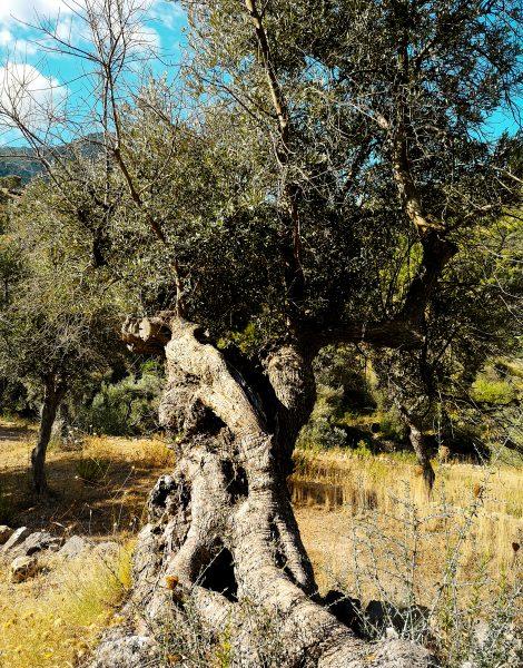 Drzewo oliwne. Olive tree - Flora na Majorce
