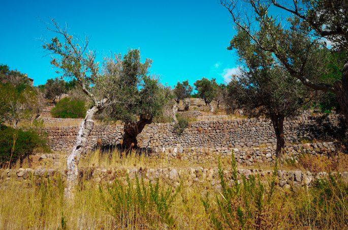 Gaje oliwne na Majorce- Olive tree - garden tree