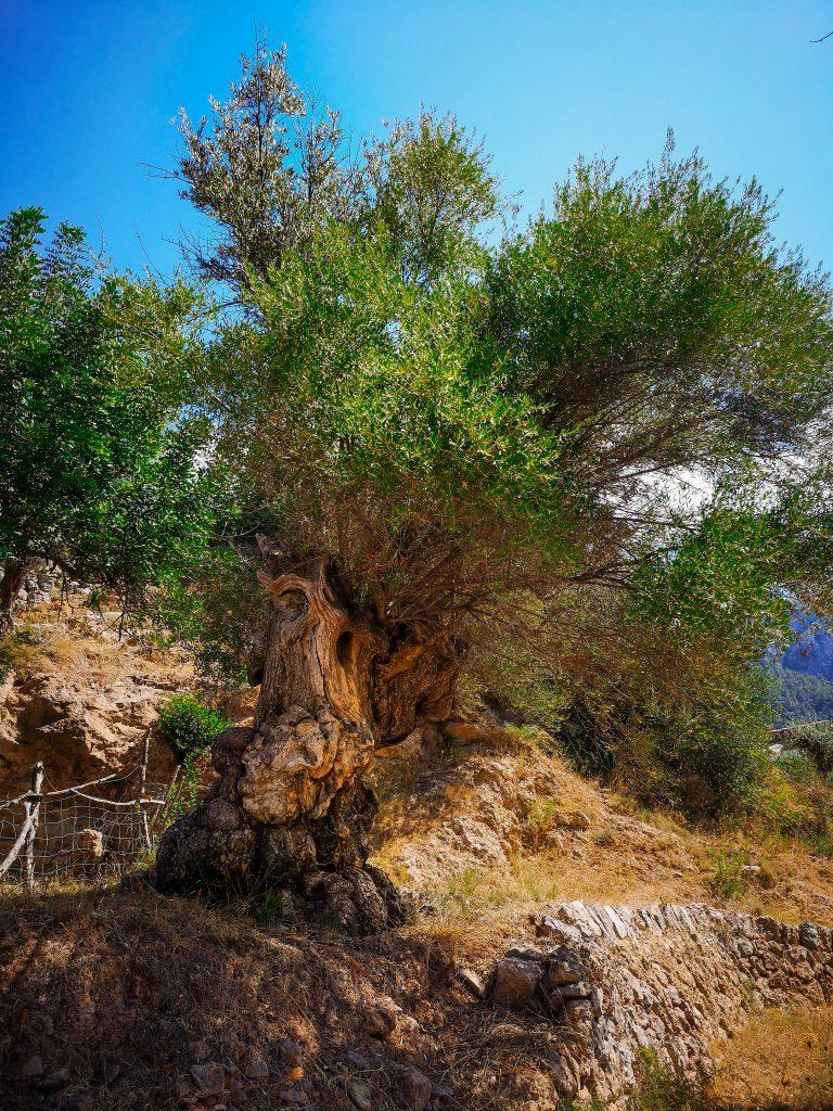 Drzewo oliwne na Majorce - olive tree in Spain
