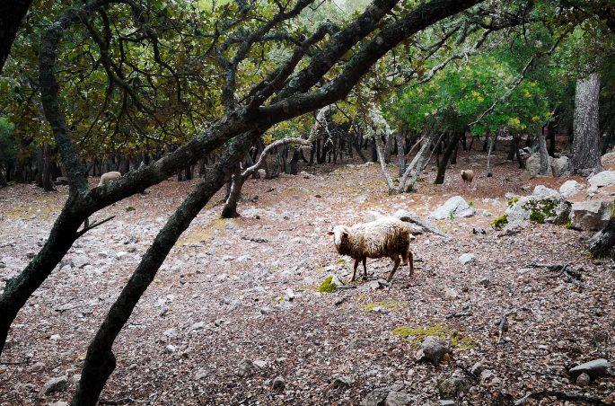 Szlak na Calagori - Owce w gajach oliwnych na Majorce. Majorca
