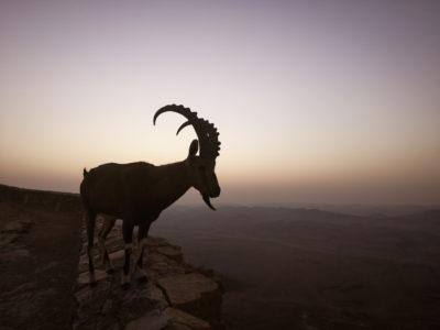 Co zobaczyć w Izraelu? Mitzpe Ramon i koziorożce. Capricorn in Negev Israel
