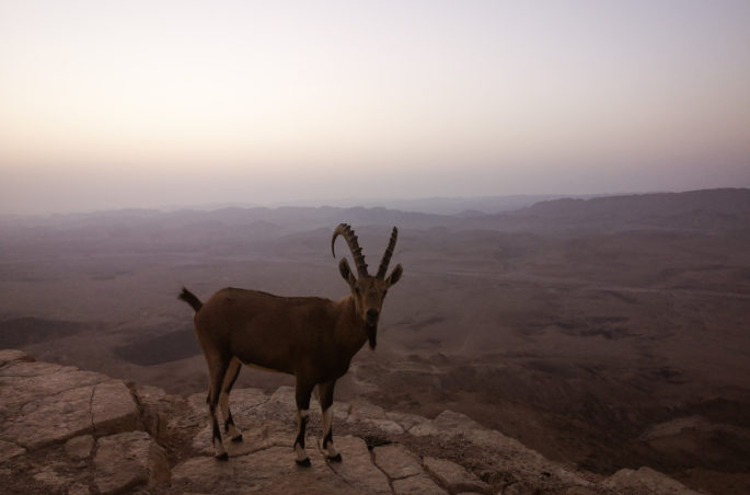 Mitzpe Ramon - największy krater świata i koziorożec. Co zobaczyć w Izraelu?