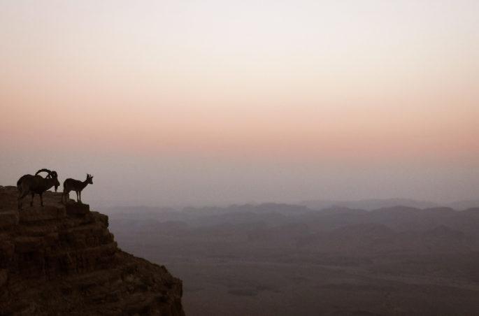 Capricorn in Israel -Mitzpe Ramon i koziorożce