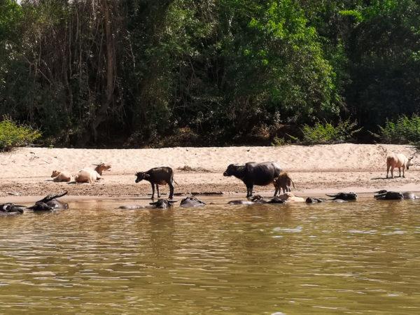 Buffalo w Laosie. Rzeka Mekong w Laosie