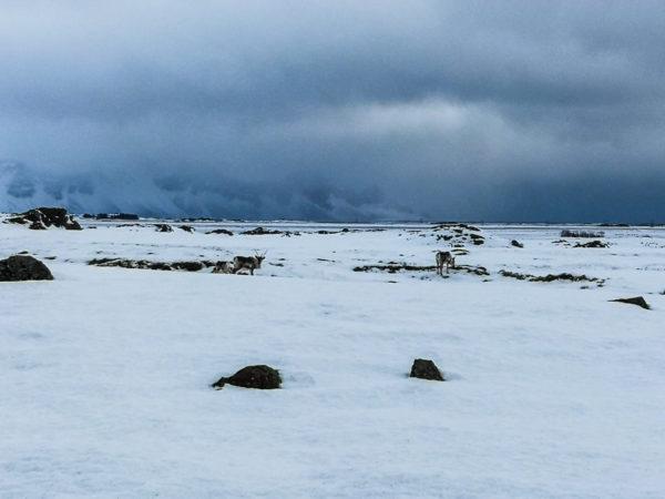 Renifery islandzkie. Najpiękniejsze miejsca w Islandii. Reindeer in Iceland