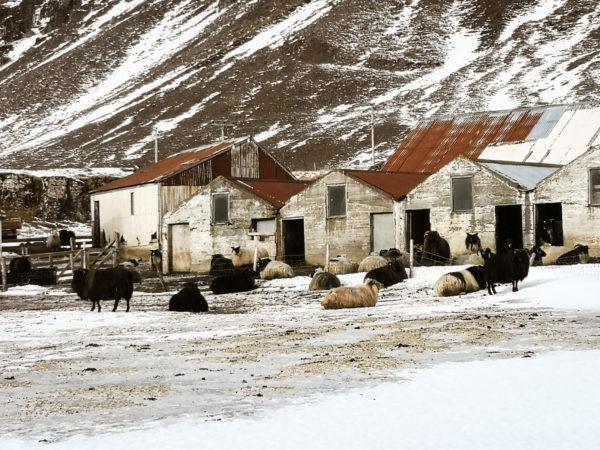 Islandzkie owce. Iceland sheep. Gospodarstwa na Islandii. Islandia w marcu