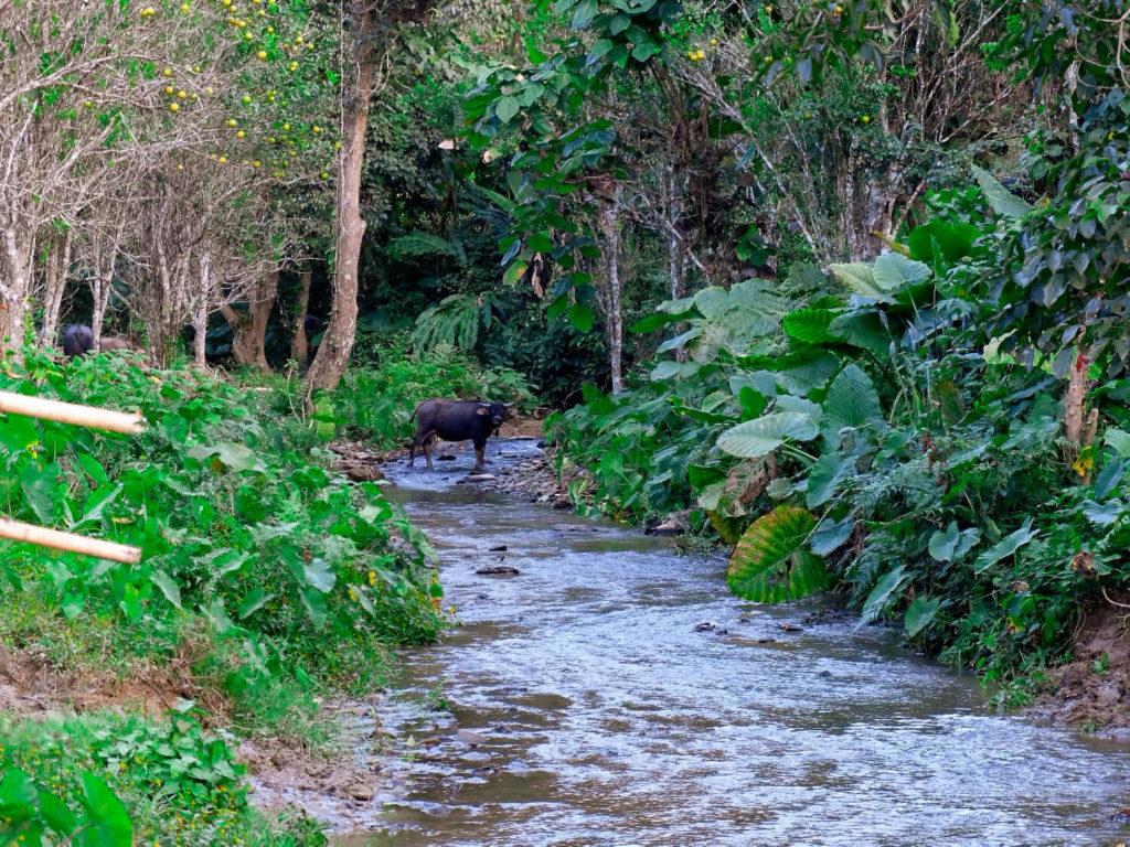 Buffalo in Lao. Bawoły w Laosie. Co zobaczyć w Laosie?